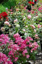 roses for sale at a nursery