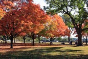 maple trees in Autumn on the Washington DC National Mall
